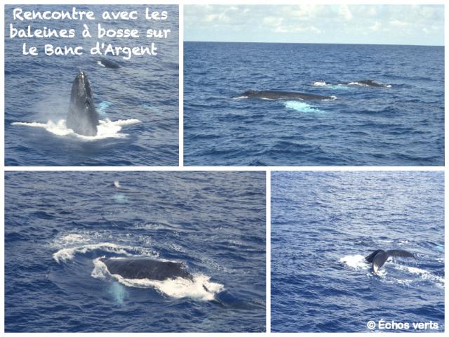 Baleines à Bosse- Banc d'Argent- Collage- échos verts