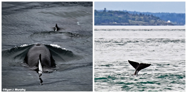 Orcas- 2- echos verts- ©Ryan J. Murphy