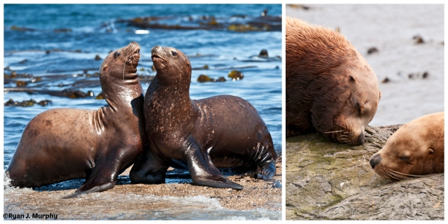 Sea lions 2- echos verts- ©Ryan J. Murphy