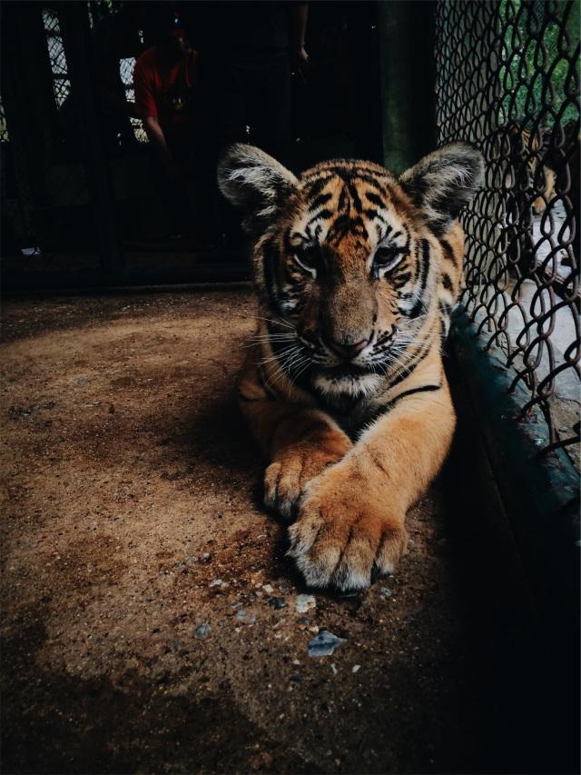 Bébé tigre- source- pexels