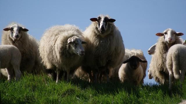moutons- source -pexels