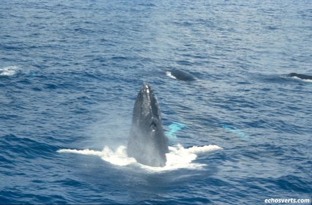 baleine à bosse echosverts.com