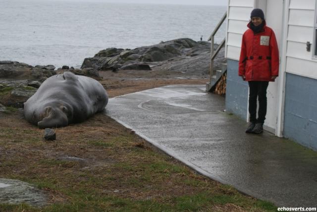 éléphant de mer - canada- echosverts.com