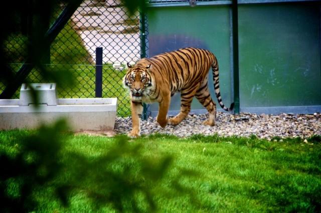 Tigre- zoo- source pexels