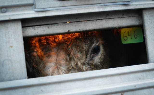 Vache transport Jo-Anne McArthur we animals
