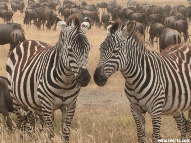 Zèbres- Tanzanie- echosverts.com