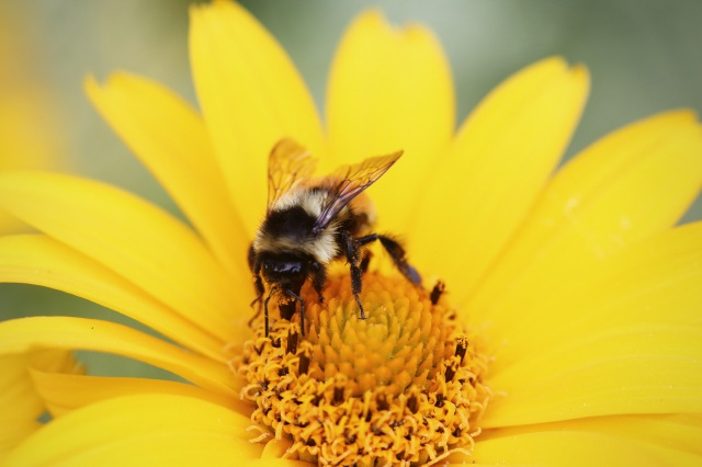 2014-08-life-of-pix-free-stock-photos-bee-flower-Collecting-pollen