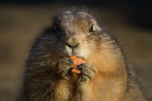 animal-carrot-eating-4245-525x350