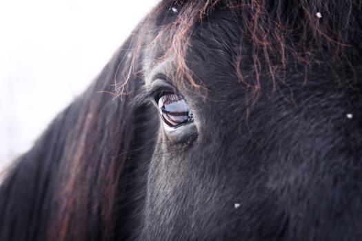 animal-eye-horse-1027-525x350