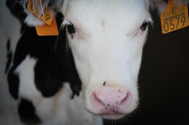 JMcArthur_DairyVealFarm_-1663 We animals